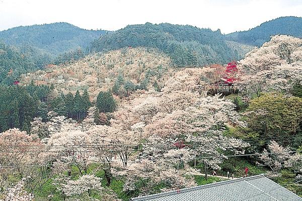 [日帰り]吉野千本桜