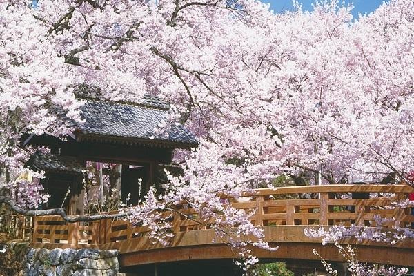 [日帰り]高遠の小彼岸桜