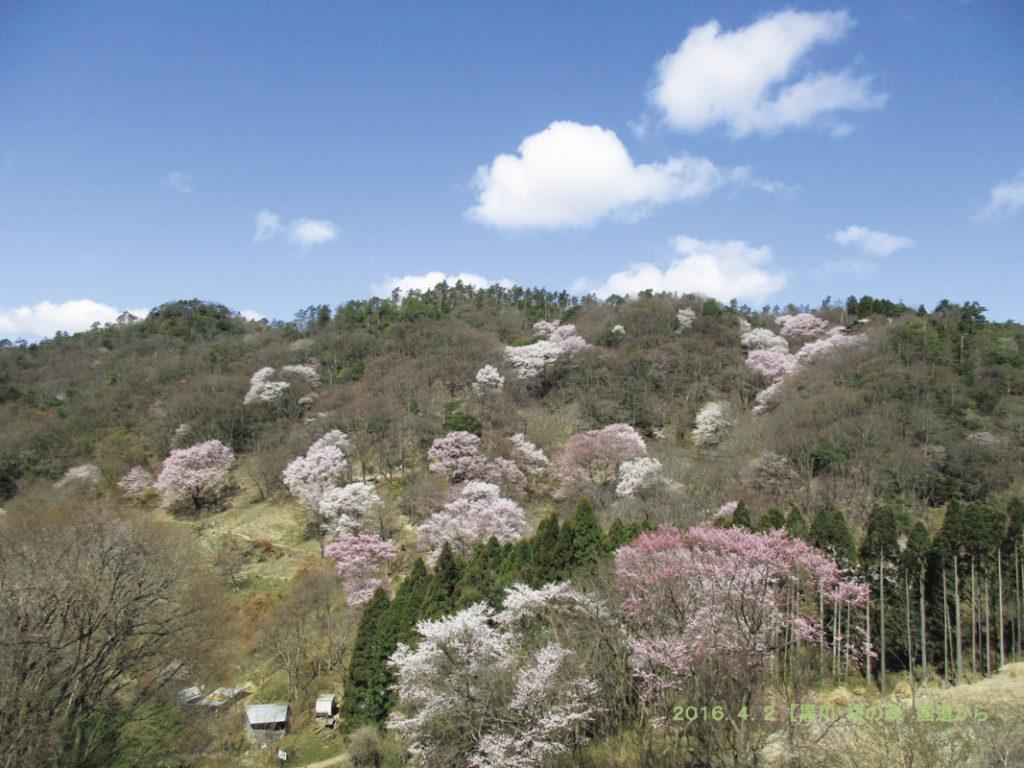 【名古屋発】野間の大ケヤキからエドヒガン群落の黒川桜の森・能勢妙見山へ