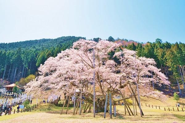 [日帰り・出発保証]<br>根尾の薄墨桜と桜の名所めぐり