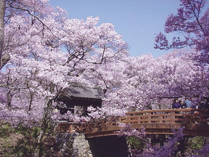 [日帰り]天下第一の桜 高遠の小彼岸桜